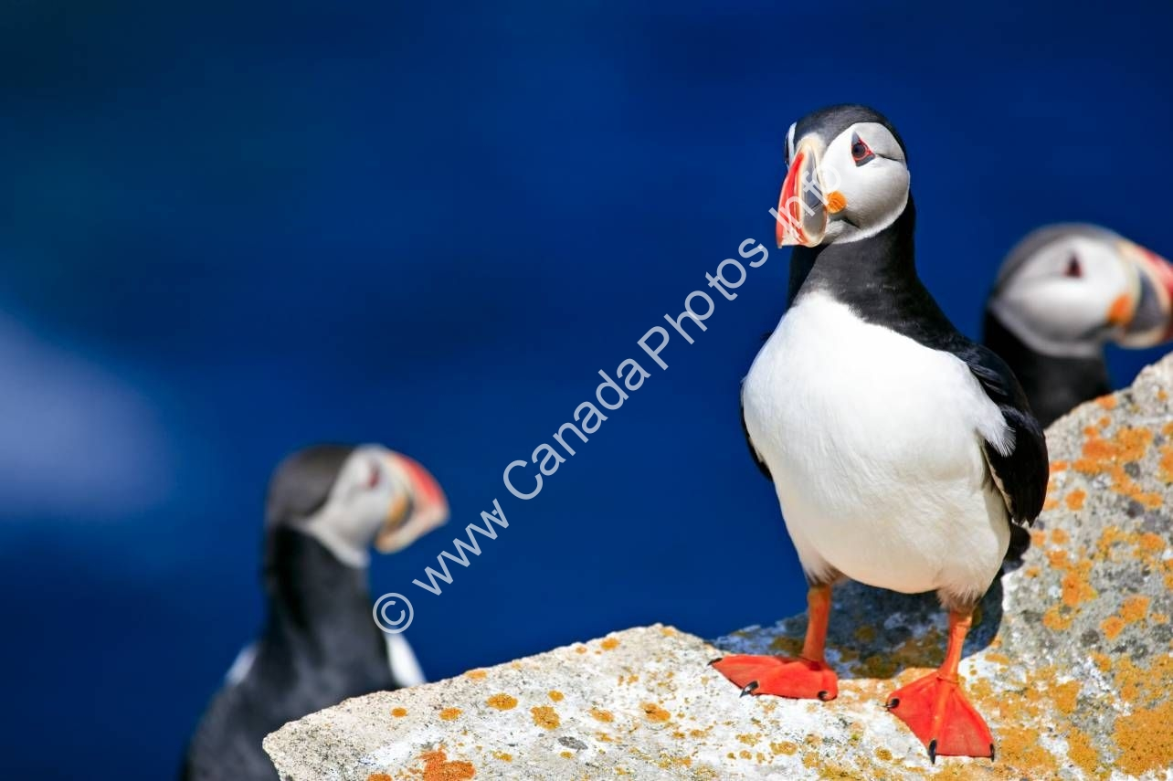 Photo Bird photo Atlantic Puffin Newfoundland
