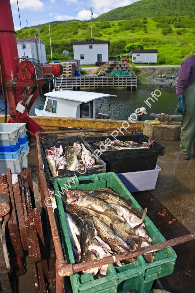 Photo Fresh Fish Trout River Harbor Newfoundland