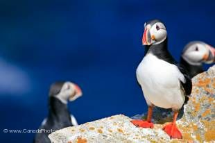 One of the most watched and famous seas birds of Newfoundland is the Atlantic Puffin.