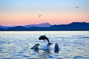 Three jumping dolphins performing in a beautiful sunset of the British Columbia coast in Johnstone Strait.