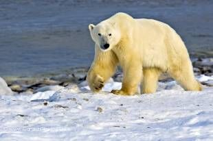 A large Polar Bear is walking along the shoreline of Hudson Bay near the town of Churchill, Manitoba.