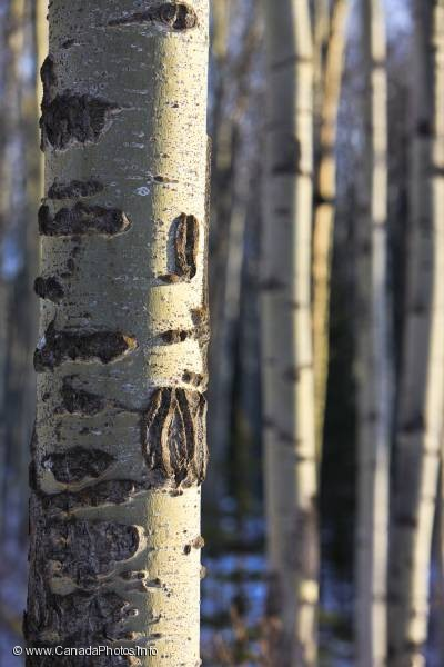 photo of Aspen Tree Forest Rocky Mountains