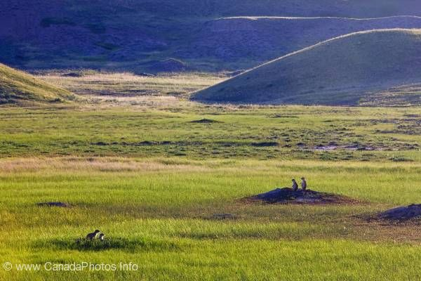 photo of Prairie dogs Grassland National Park Saskatchewan