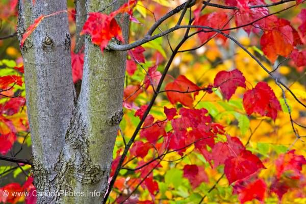 photo of Fall Colors Red Leaves Algonquin Provincial Park