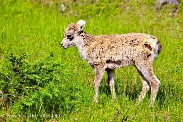 photo of Cute baby Bighorn sheep lamb