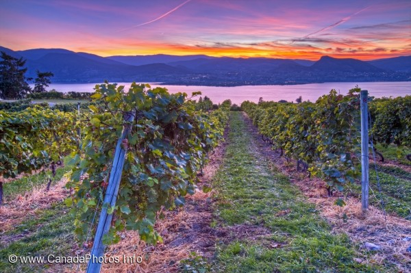 photo of Vineyard Naramata Okanagan BC
